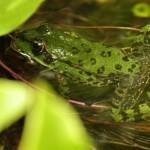 Minna photographie une grenouille