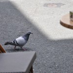 Pigeon place Saint-Pierre à Saumur
